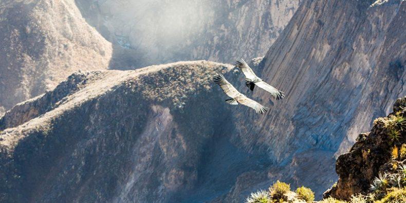 condor voando sobre o cânion colca - lugares para visitar no peru