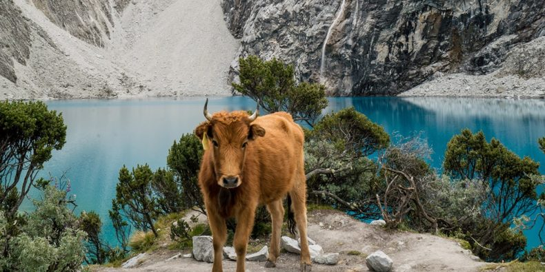 cow in front of laguna 69
