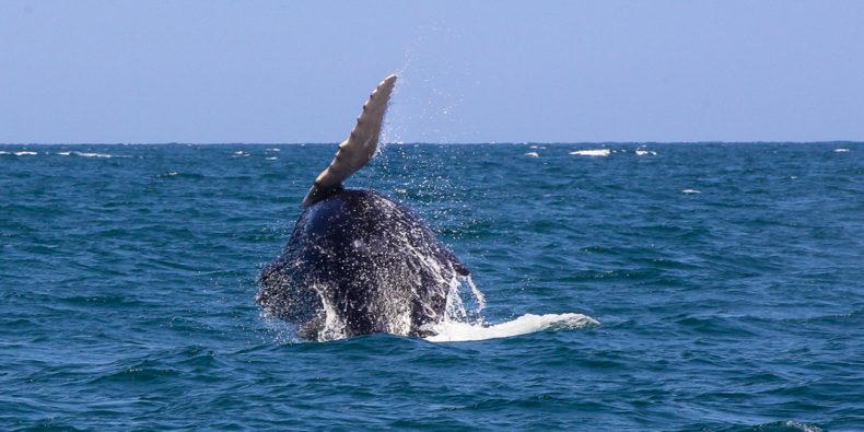 Une baleine qui saute au larde des côtes de Mancora.