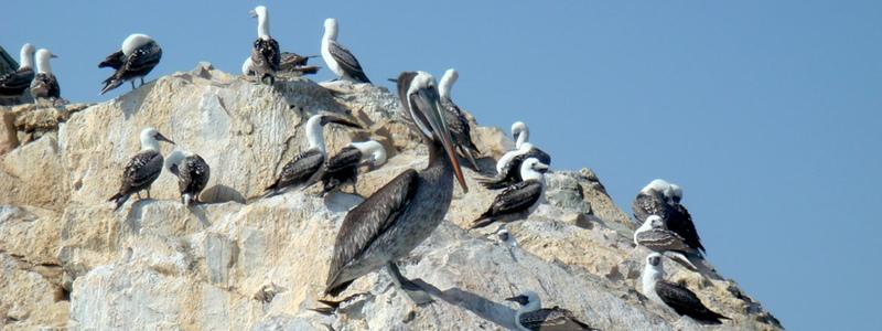 Animals of Ballestas Islands - Different types of seabirds