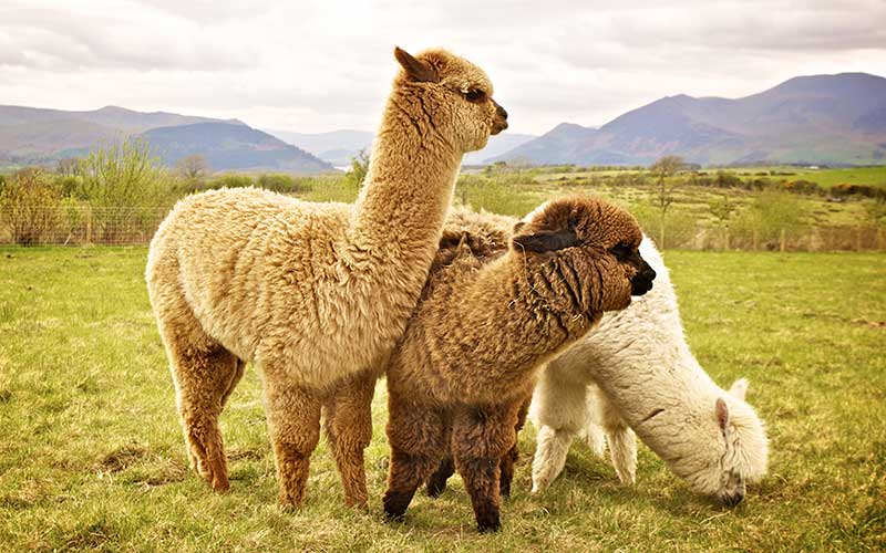 Alpaca - difference between llama and alpaca