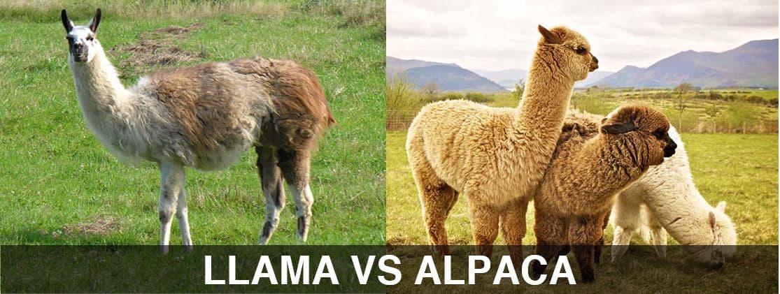 llama vs alpaca - The difference between the llama and the alpaca
