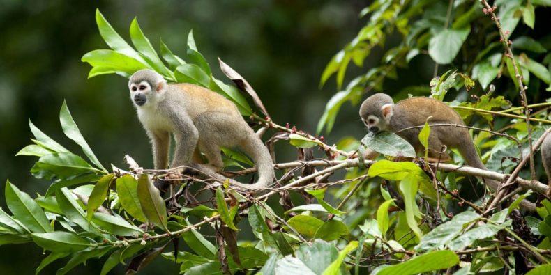 monos en la selva - cosas que hacer en perú
