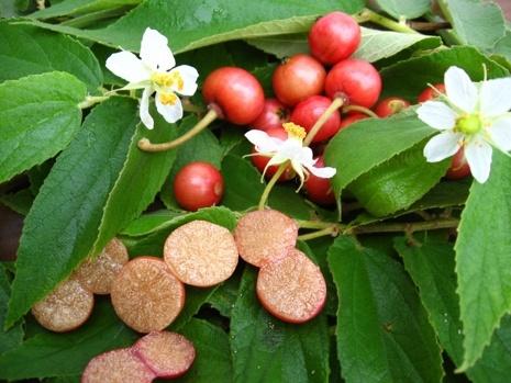 Frutas Peruanas - Capulin