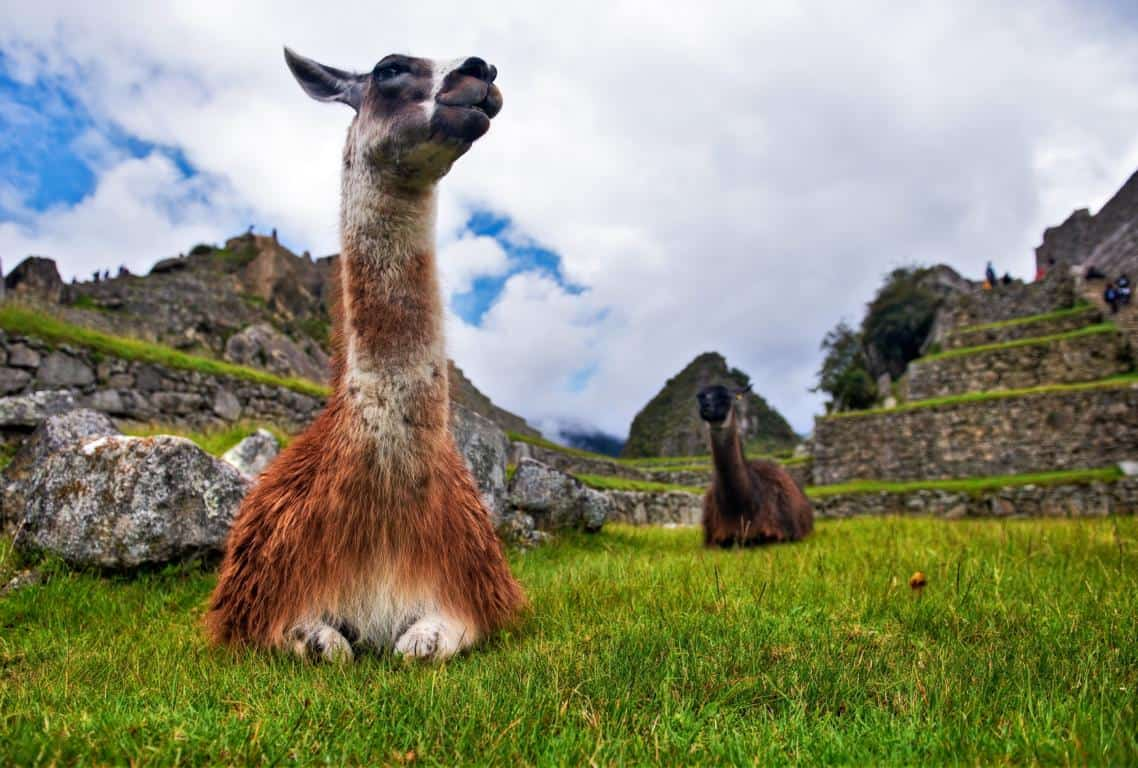 Llama at Machu Picchu - The difference between llama and alpaca