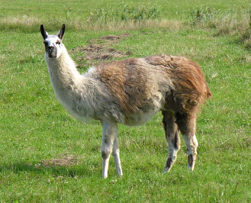 llama marked - Difference between llama and alpaca