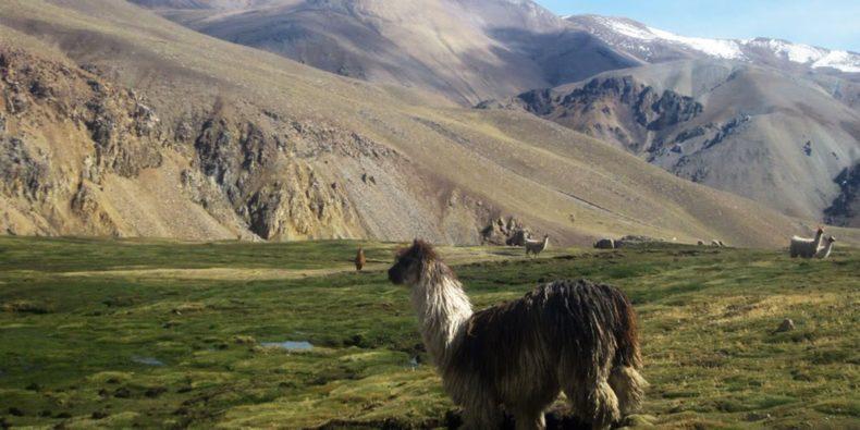 alpaca en el campo