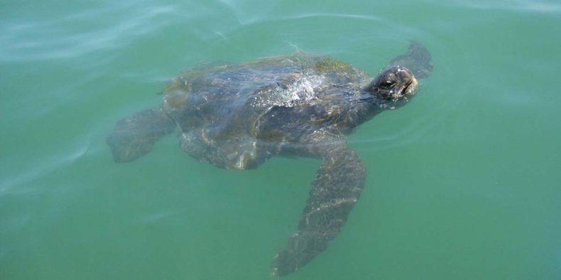 tartarugas no mar de máncora
