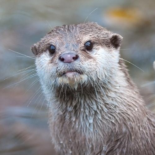 Animals of Ballestas Islands - Marine Sea Otter