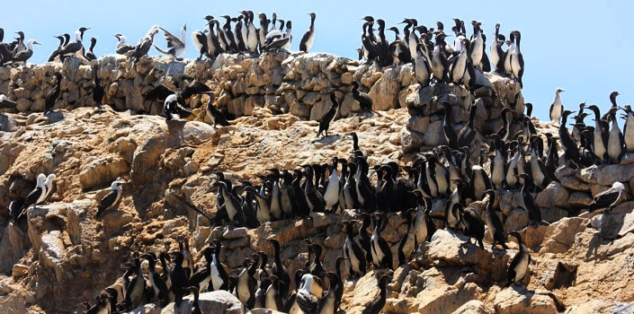 paracas-national-reserve-penguins