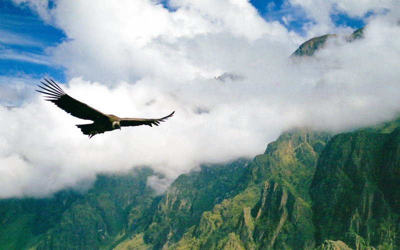 Condor Colca Canyon Arequipa second deepest canyon in the world