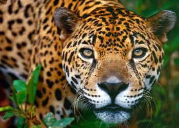 Pacaya Samiria National Reserve - Jaguar