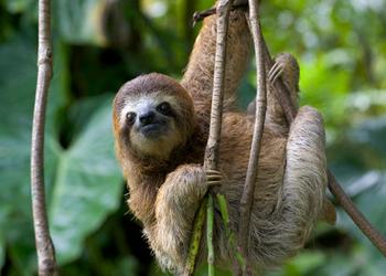 Pacaya Samiria National Reserve - Brown-throated sloth