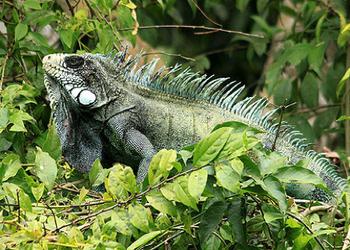 Pacaya Samiria National Reserve - Green Iguana