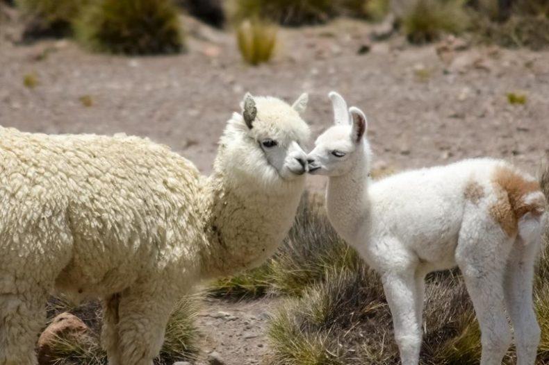 Mom Alpaca and Baby Alpaca