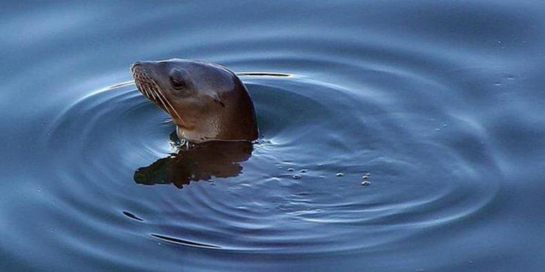 leão marinho no mar - tour em lima