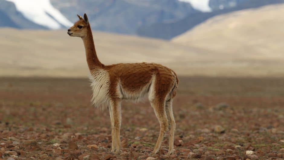 Vicuna - The difference between the llama and the alpaca